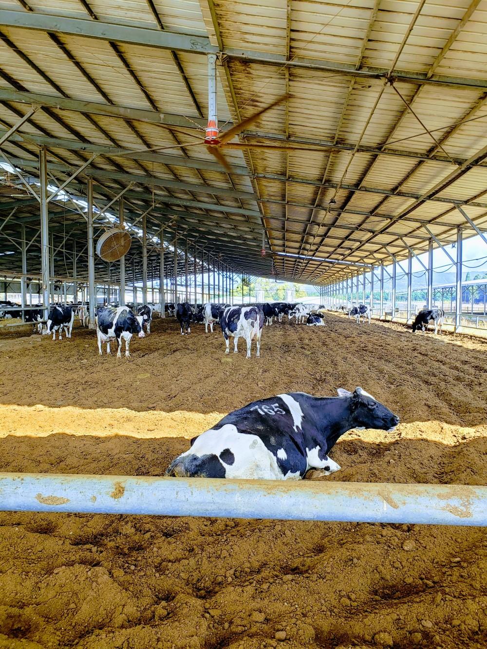 hayvancılıkta istail modeli : hayvan başına 22 metrekare yaşam alanı ve çatı örtüsü bulunan ve fan sistemi ile kurutulan barınaklar